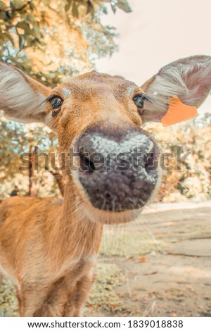 Soft focus Brown long-eared deer take pictures as if taking a selfie