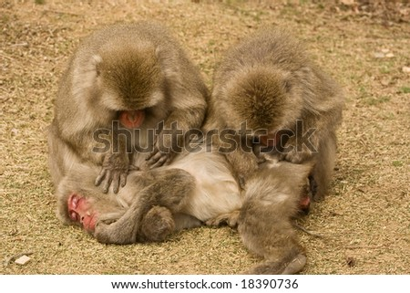 relaxing during hygiene procedure made by Japanese macaques on their fellow monkey #18390736