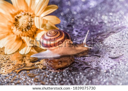 brown snail is crawling against the backdrop of shiny bright bokeh and a yellow flower. closeup of a brown snail in front of a yellow flower. brown snail on a background of shiny drops Royalty-Free Stock Photo #1839075730