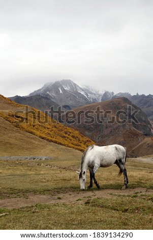 White horse is walking on a pictures autumn pasture in cloudy weather on a background of beautiful landscape of Caucasus Mountains, Georgia.