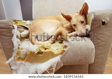 Guilty puppy dog after bite, destroy and chewing a sofa.  Royalty-Free Stock Photo #1839156565