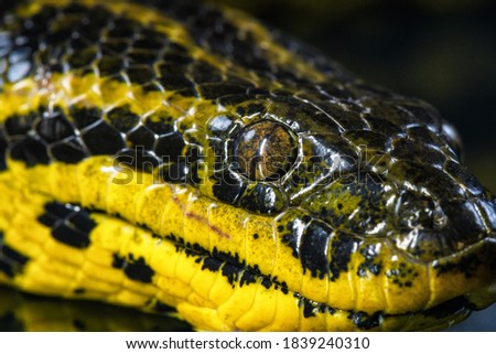 Close up picture of yellow anaconda's head