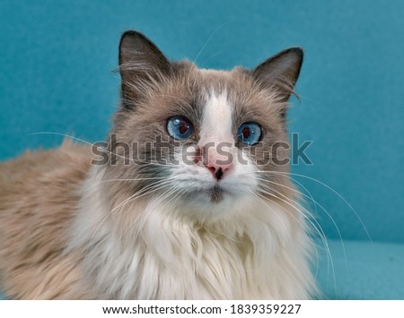 Allergic skin diseases in domestic cats. cat's wound from dermatitis. Skin diseases in cats. Cat pimples. Atypical dermatitis in a domestic cat. Feline Allergies in Cats Royalty-Free Stock Photo #1839359227