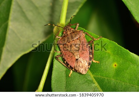 Macro image in natural light of isolated specimen of Brown marmorated stink bug, scientific name Halyomorpha halys, photographed on a green leaf with natural background. Royalty-Free Stock Photo #1839405970