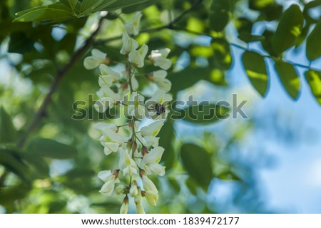 Acacia tree flowers blooming in the spring. Acacia flowers branch with a green background. Blooming clusters of acacia. Acacia tree flower with bee collecting nectar. #1839472177