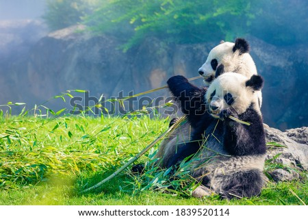 Mother Panda and her baby Panda are Snuggling and eating bamboo in the morning, in a zoo in France #1839520114