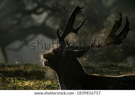 Portrait of a Fallow deer (Dama dama) breathing warm air during a cold autumn morning in rutting season in the forest of Amsterdamse Waterleidingduinen   in the Netherlands. Low key, backlight picture