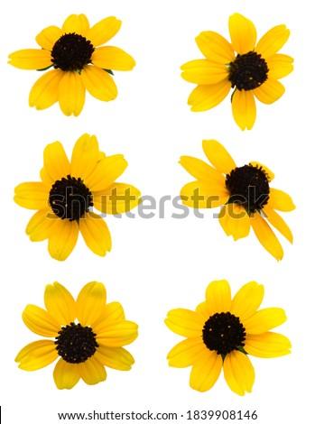 A single black eyed susan flower on white