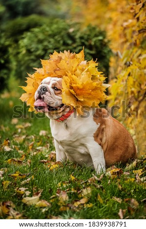 The english bulldog in autumn leaves. Autumn wreath of leaves. The autumn Queen.
