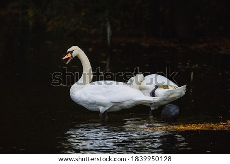 Picture of a swan taken in a UK park