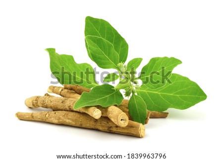 Ashwagandha Dry Root Medicinal Herb with Fresh Leaves, also known as Withania Somnifera, Ashwagandha, Indian Ginseng, Poison Gooseberry, or Winter Cherry. Isolated on White Background. #1839963796