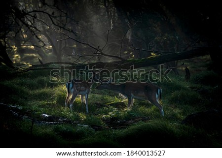Mother and daughter Fallow deer (Dama dama)  during a cold autumn morning in rutting season in the forest of Amsterdamse Waterleidingduinen in the Netherlands. Low key, backlight picture. Sweet moment