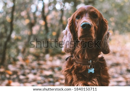 Closeup portrait of a purebred irish red setter gundog hunting dog breed wearing a brown leather collar with a dog tag outdoors in the forest in fall season Royalty-Free Stock Photo #1840150711