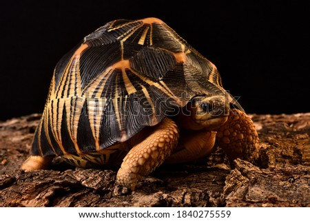 """Closeup picture of the Indian star tortoise Geochelone elegans (Testudines; Testudinidae), a common """"exotic"""" pet reptile phtographed in front of black background."""