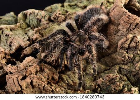 "Closeup picture of the Honduran curlyhair tarantula Tliltocatl albopilosus (previously Brachypelma albopilosum) (Araneae; Theraphosidae), a common ""exotic"" pet spider photographed on cork bark."
