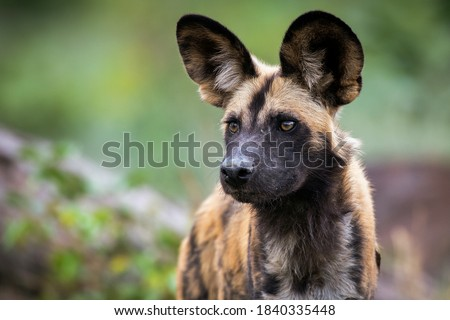 The African wild dog (Lycaon pictus), also called the painted dog, or Cape hunting dog Royalty-Free Stock Photo #1840335448