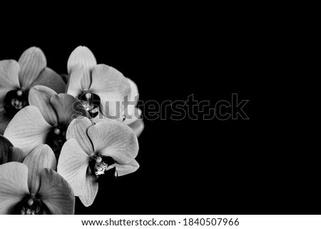 A dark picture of Moth Orchid in bloom. Decorative flower isolated on black background.