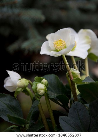 A fabulous Christmas Carol flower photo. Helleborus niger or Christmas rose flower.
