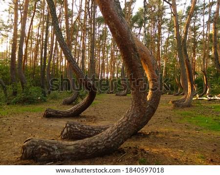 Crooked wood (Krzywy Las) - mysterious bent trees near Gryfino, Western Pomerania (Zachodniopomorskie), Poland Royalty-Free Stock Photo #1840597018
