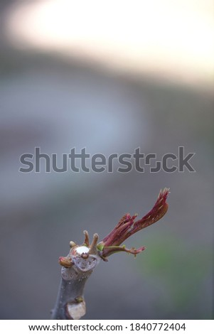 Fresh and tender toon buds in spring Royalty-Free Stock Photo #1840772404