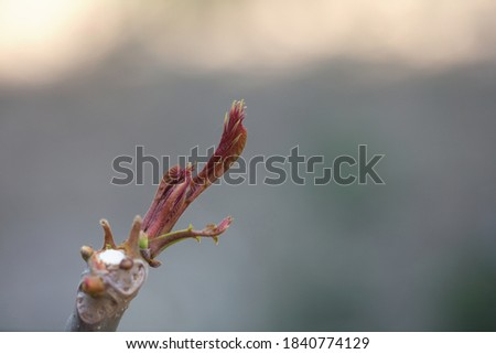 Fresh and tender toon buds in spring Royalty-Free Stock Photo #1840774129