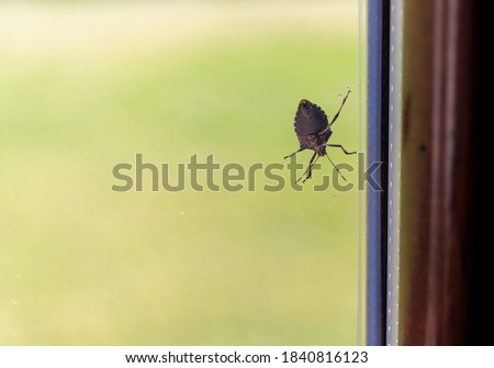Asian bedbug attached to the window pane at home. Pest animal concept. Bed bug season. Insect that infests the houses in the autumn period.