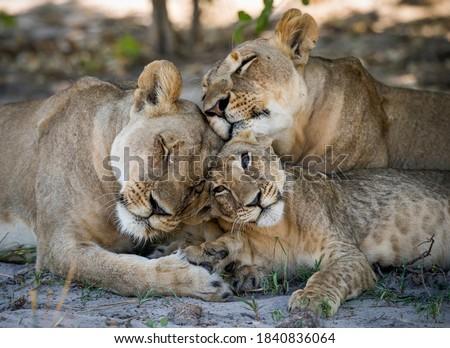Lion (Panthera leo) in the Ongava Delta , Botswana. Royalty-Free Stock Photo #1840836064