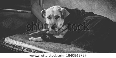 Old monochrome photo of a dog in a blanket. Large mastiff in the cold days.