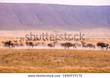 Herd of gnus and wildebeests in the Ngorongoro crater National Park, Wildlife safari in Tanzania, Africa. Royalty-Free Stock Photo #1840919176