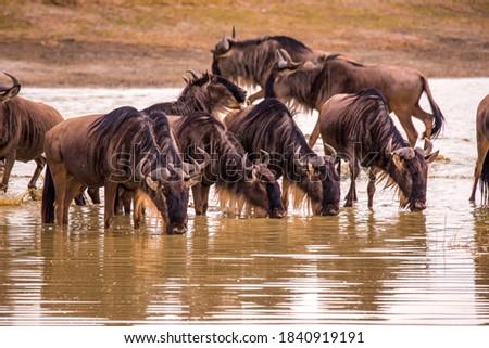 Herd of gnus and wildebeests in the Ngorongoro crater National Park, Wildlife safari in Tanzania, Africa.