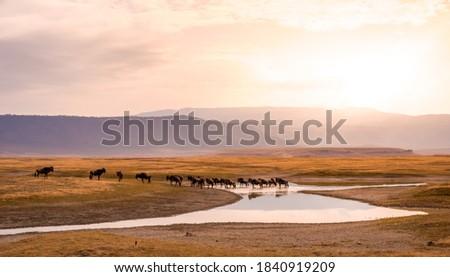 Herd of gnus and wildebeests in the Ngorongoro crater National Park, Wildlife safari in Tanzania, Africa. Royalty-Free Stock Photo #1840919209