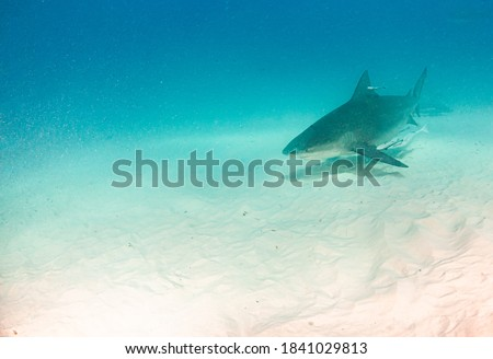 Picture shows a Bull shark at the Bahamas