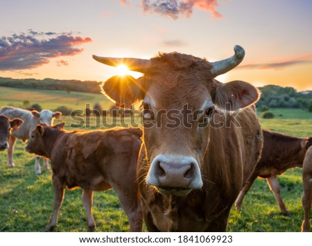 Cows in field, one cow looking at the camera during sunset in the evening Royalty-Free Stock Photo #1841069923