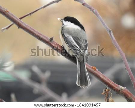 Bird Black-Capped Chickadee Chickadee Branch #1841091457