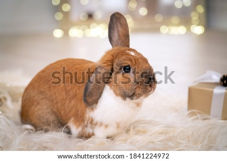 fluffy red lop-eared rabbit sits on a soft rug against the background of a Christmas lights in a beautifully decorated room for Christmas. New year's gift. greeting card, place for copy space for text
