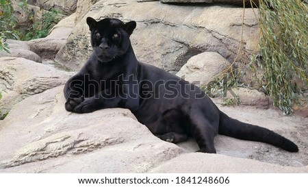 The panther lies on a rock.