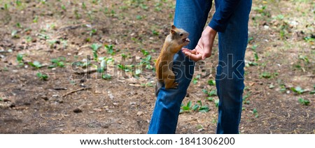 a squirrel sits on its leg, a forest squirrel, a young man feeds a squirrel nuts. manual squirrel,