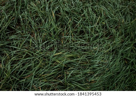 Green grass with dew in autumn. Wallpaper with grass. Green background. Grass Phone Screensaver. Natural photowall-paper. Nature photo.