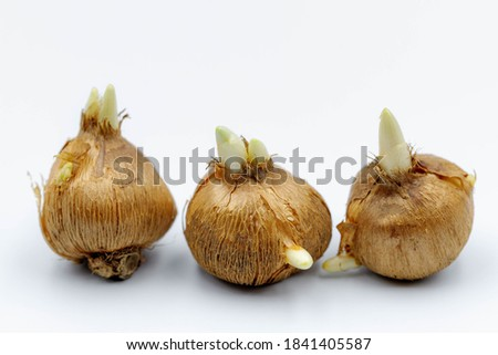 Selective focus of root or bulb flower on white background, Crocus bulbs (technically called corms) A genus of flowering plants in the iris family comprising 90 species of perennials grown from corms. Royalty-Free Stock Photo #1841405587