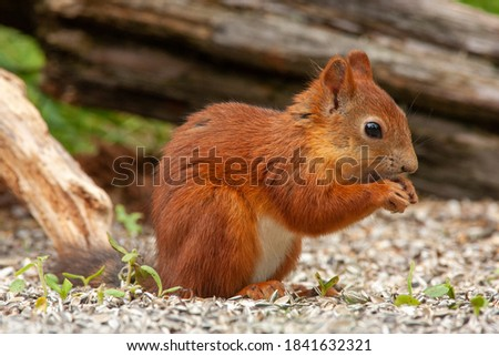 squirrel mammal rodent untouched nature of finland scandinavia europe finland Royalty-Free Stock Photo #1841632321