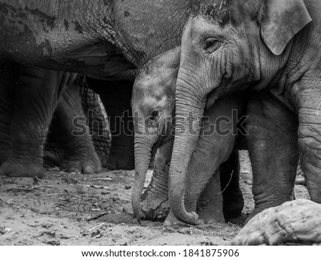 Elephant siblings playing with each other Royalty-Free Stock Photo #1841875906