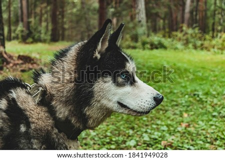 Portrait of a Siberian husky against forest. Side view