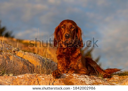 My beautiful female Irish Setter, lies and rests at the edge of the cliff. The sunset brings out her beautiful color, and shiny fur. Royalty-Free Stock Photo #1842002986