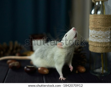 rat on the table poses and smelled tasty to eat