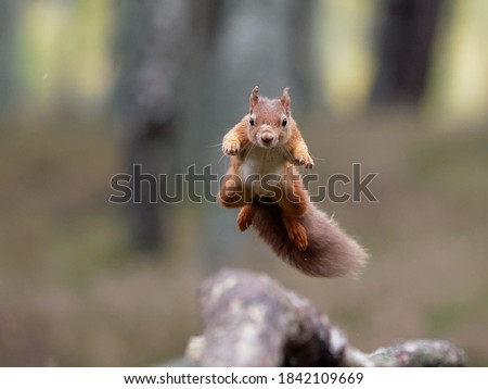 Jumping Red Squirrel with landing point in view