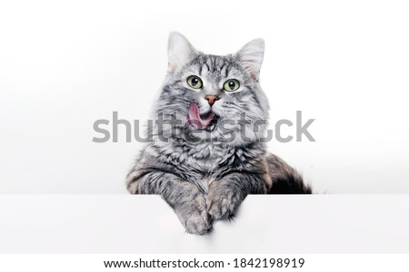 Funny large longhair gray kitten with beautiful big green eyes lying on white table. Lovely fluffy cat licking lips. Free space for text.
