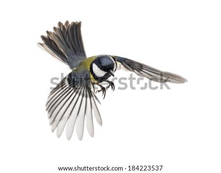great tit flying - Parus major #184223537
