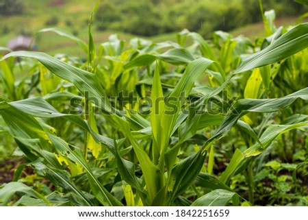 close-up picture of corn plant, fresh corn leaves, green image.
