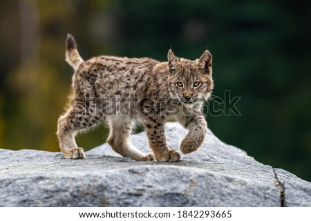 Lynx in green forest with tree trunk. Wildlife scene from nature. Playing Eurasian lynx, animal behaviour in habitat. Wild cat from Germany. Wild Bobcat between the trees #1842293665