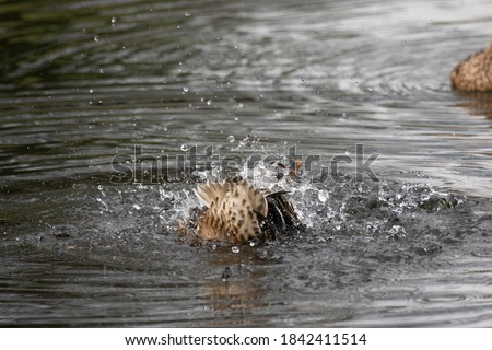 Beautiful female duck splashes in the ditch and dives underwater. Funny picture
